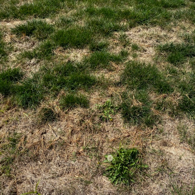Fungal Lawn before treatment